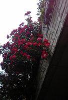 20080518下からみたバラ