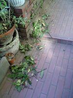 20080225庭もひどい。。マンリョウの枝が。。。