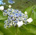 可憐なガクに可愛らしい花。