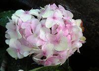 ここでは珍しいベビーピンクの紫陽花。