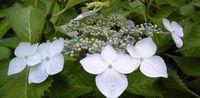 清楚な雰囲気がする白ガク紫陽花