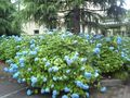 旧役場の概観とマッチしている青い紫陽花。