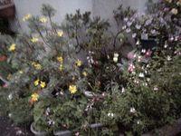 20070517朝撮った。細かい花々がにぎやかで可愛い。