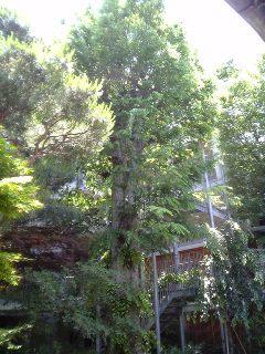 20070526欅ハウスをバックに樹齢200年の欅