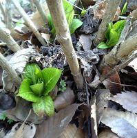 地面に近いところからアジサイの青々した葉っぱが。