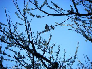 20090221梅に鶯?いやメジロだ。
