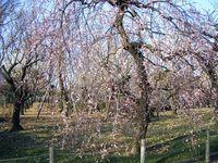 20090221枝垂れ咲き乱れ