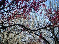 20090221紅白の梅の森