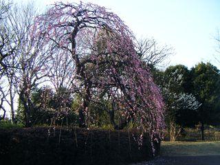 20090221 ピンク枝垂れ全体