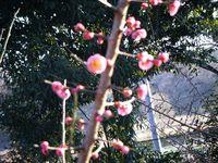 20090221花の付き方がかわいい